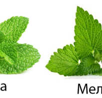 Мелисса и мята различия. Отличия мяты от мелиссы и их полезные свойства. Где применяются и какое растение лучше?