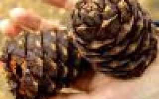 Настойка кедровых орехов на водке применение отзывы. Настойка Кедрового Ореха на Водке Отзывы