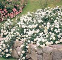 Розы стелющиеся по земле фото. Выращиваем почвопокровные розы в своем цветнике