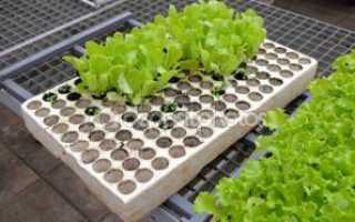 Рассада салата в домашних условиях. Выращивание салата в домашних условиях