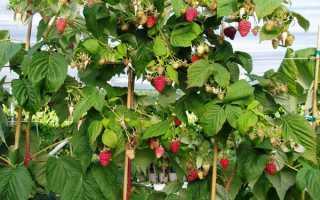 Малиновое дерево посадка и уход размножение видео. Как ухаживать и сажать малиновое дерево. Размножение. Фото.