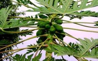 Папайя уход в домашних условиях. Как вырастить папайю из семян в домашних условиях
