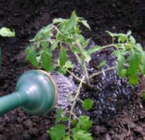 Сколько раз в неделю поливать помидоры. Как часто поливать помидоры?