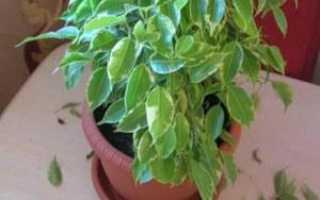 Фикус наташа желтеют и опадают листья. Листья фикуса Бенджамина желтеют и опадают. В чем причина и чем можно помочь?