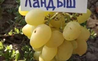 Ландыш описание сорта фото отзывы. Обзор сорта винограда Ландыш