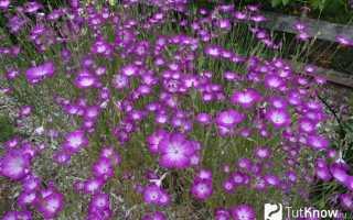 Куколь семена фото. Куколь (агростемма): сорняк или декоративный цветок?