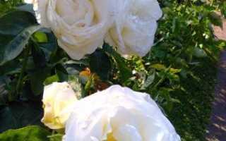 Роза шопен фото. Описание, особенности посадки и уход за розой «Шопен»