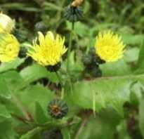 Осот огородный фото. Трава осот: лечебные и полезные свойства сорняка