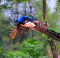 Павлин летает. Летает или не летает павлин – вот в чем вопрос!