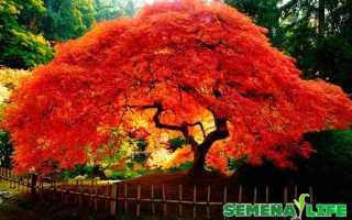 Красный клен выращивание из семян. Как вырастить клён из семян в домашних условиях советы