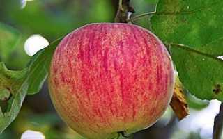 Яблоня сорт осеннее полосатое. Осеннее полосатое
