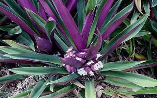 Цветок с фиолетово зелеными листьями. Колдовство цветка рео – польза или вред, 12 фото