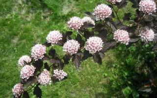 Пузыреплодник леди ин ред посадка и уход. Пузыреплодник: виды и сорта, посадка и уход, фото в саду