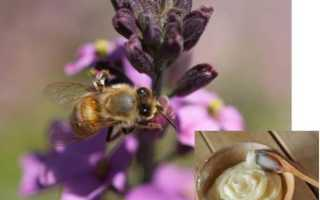 Кураевский мед. Мед курай полезные свойства