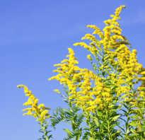Цвет амброзия. Амброзия (растение)