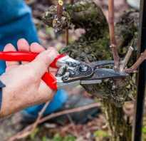 Обрезка неукрывного винограда осенью видео. Обрезка неукрывного винограда весной. Как обрезать виноград?