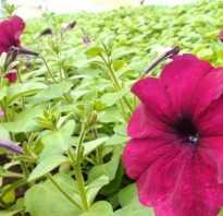 Почему не цветет петуния. Что делать, если петуния не цветет? Почему это происходит и что нужно изменить в уходе?