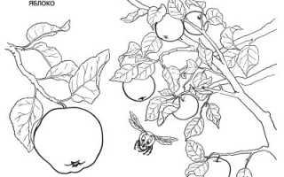 Сорт яблок рождественское фото. Яблоня Рождественское – вкус лета среди зимы
