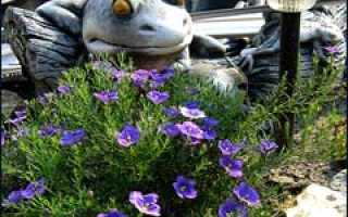 Нирембергия выращивание из семян. Нирембергия: выращивание в открытом грунте