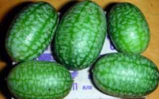 Мелотрия что это за растение. Мелотрия шершавая или арбузные огурцы – как выращивать?