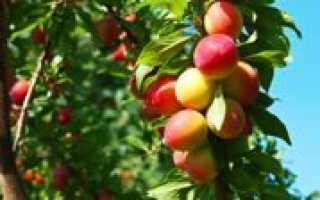 Плодовые деревья и кустарники для подмосковья. Плодовые кустарники для подмосковья