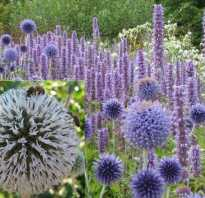 Медоносные травы для пчел фото с названиями. Медоносные многолетние растения для пчел: фото с названиями
