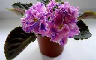 Розмари фиалка. Фиалка Розмари – сорт с роскошными цветами необычной окраски