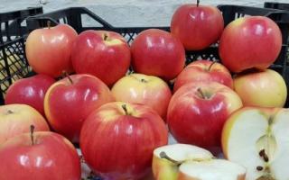 Яблоки лиголь где выращены. Сорт яблони Лигол