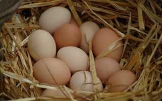 Сколько курица. Сколько курица сидит на яйцах