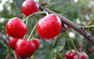 Сорта вишни без поросли для урала. Cорта вишни для Урала