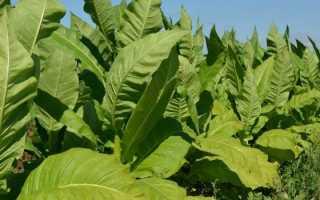 Посадка табака в открытый грунт. Домашний Табак