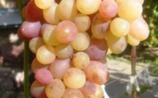Тайсон виноград фото. Виноград сорта тайсон