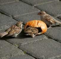 Почему нельзя кормить птиц свежим хлебом. Можно ли кормить воробьёв и других птиц белым хлебом?