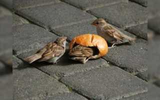 Можно кормить голубей хлебом. Почему нельзя кормить голубей черным хлебом