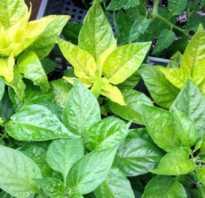 Перец сбрасывает листья. Что делать, если листья перцев покрылись пятнами или опадают