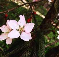Махровая сакура. Махровая сакура расцвела в столичном «Аптекарском огороде»
