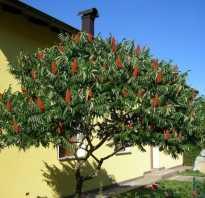 Оленье дерево сумах. Сумах оленерогий: как ухаживать за уксусным деревом?