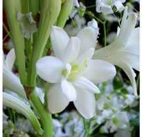 Туберозы фото. Выращивание туберозы: описание, посадка и уход, фото цветов