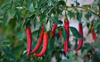 Рассада перец горький. Горький перец чили: выращивание из семян, посадка и уход