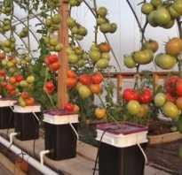 Помидоры на гидропонике. Как вырастить помидоры на гидропонике?