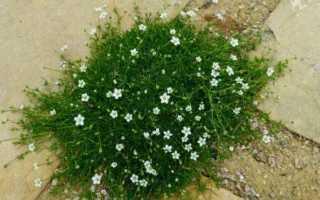 Мшанка выращивание из семян. Мшанка шиловидная: особенности и секреты выращивания ирландского мха