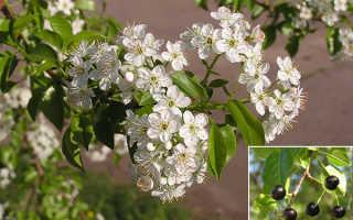 Черемуха фото дерева и плодов. Черемуха: виды и сорта, выращивание и способы размножения