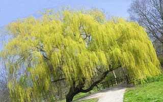 Ракита дерево фото листья. Ива: виды и сорта