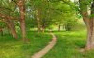 Ясень маньчжурский фото и описание. Весенний вальс ясеня