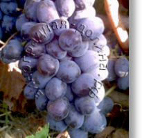 Осенний виноград. Осенний черный сорт винограда — как вырастить богатый урожай