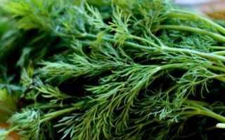 Посадка зелени в грунт. Как сеять укроп правильно – весенний, зимний и подзимний посев