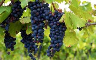 Когда созревает виноград изабелла. Когда можно собирать виноград Изабелла?