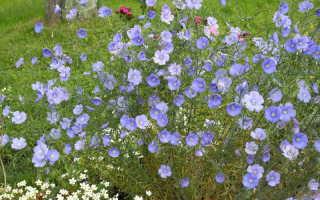 Лен многолетний посадка и уход. Посадка и уход за многолетним льном в открытом грунте, выращивание из семян