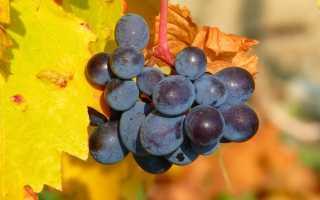 Укрытие винограда на зиму в подмосковье лапником. Зима не за горами: как правильно укрыть виноградную лозу