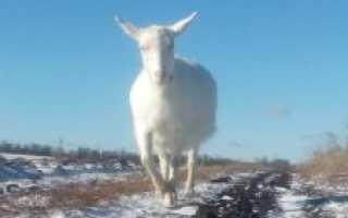 Сколько раз доят козу в день. Можно доить высокоудойную козу 1 раз в день?